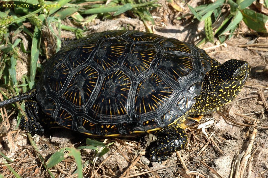 Условия содержания болотной черепахи в домашних условиях 343