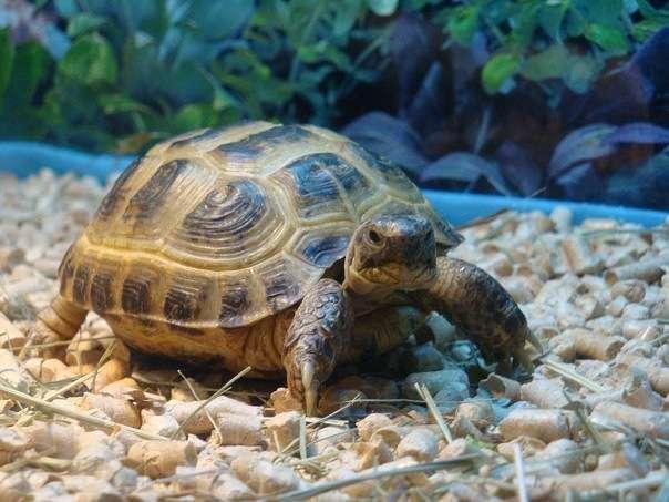 Сухопутная черепаха содержание и уход в домашних условиях фото