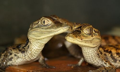 крокодил, крокодиловый кайман, крокодил дома, домашний крокодил, содержание крокодила, крокодил в домашних условиях, содержание дома крокодилового каймана